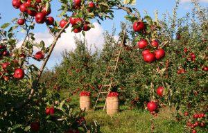 Appelgaard, appelbomen, rode appels