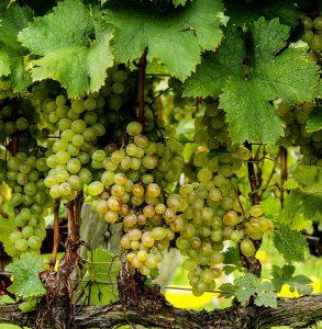 Witte druiven, wijnbouw
